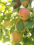 Südtiroler Apfeltraum